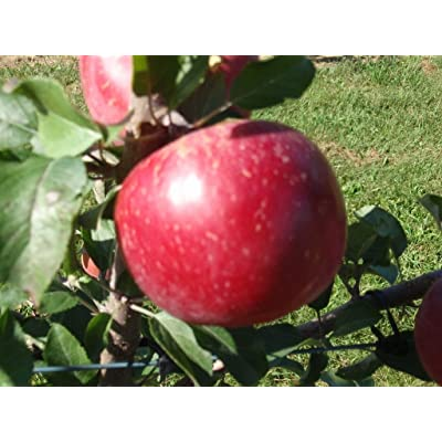 1 Dwarf Fuji Apple Tree 1-2 FT Flowering Fruit Trees Live Plants Now Shipping : Garden & Outdoor