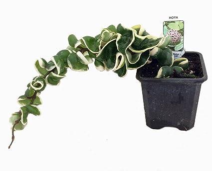 Amazoncom Variegated Hindu Rope Plant Exotic Hoya 3 Pot