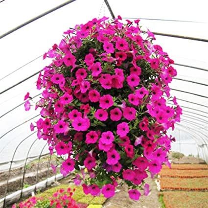 super1798 50Pcs Morning Glory Seeds Hanging Petunia Garden Potted Flowers  Ornament