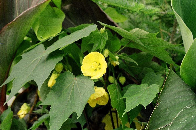 6 6 Plants Plentree Seeds Package Abutilon X Hybridum Waltz Flowering Maple 9Cm Pot Please Read Description