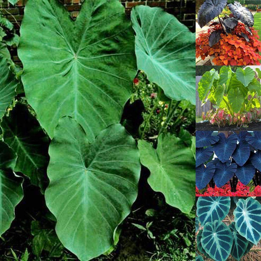 20 St/ücke Heirloom Alocasia Macrorrhiza Saatgut Riesen Taro Samen Elefanten Ohr Outdoor indoor Pflanzen bonsai mehrj/ährig Anitra Perkins 1