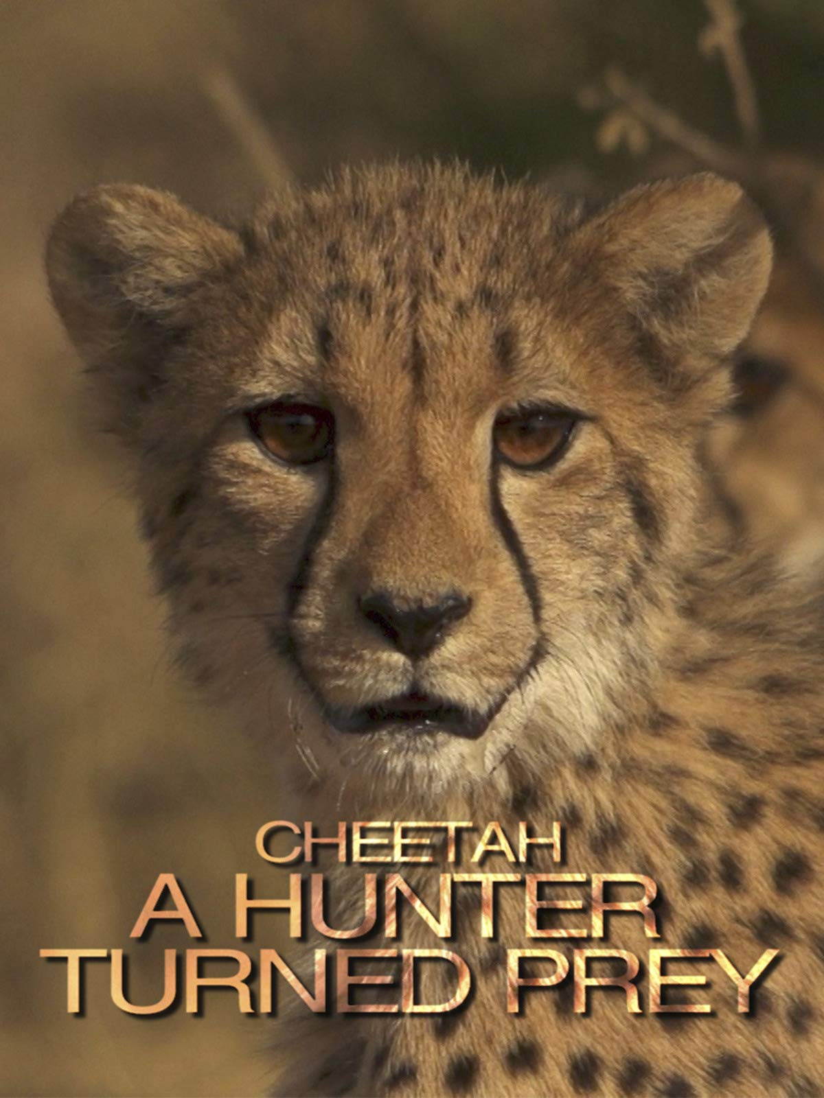 Cheetah, a hunter turned prey