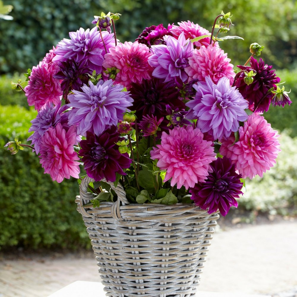 Dahlia Decorative Tubers - Lavender Blush Collection - 12 Flower Bulbs - From Longfield Gardens