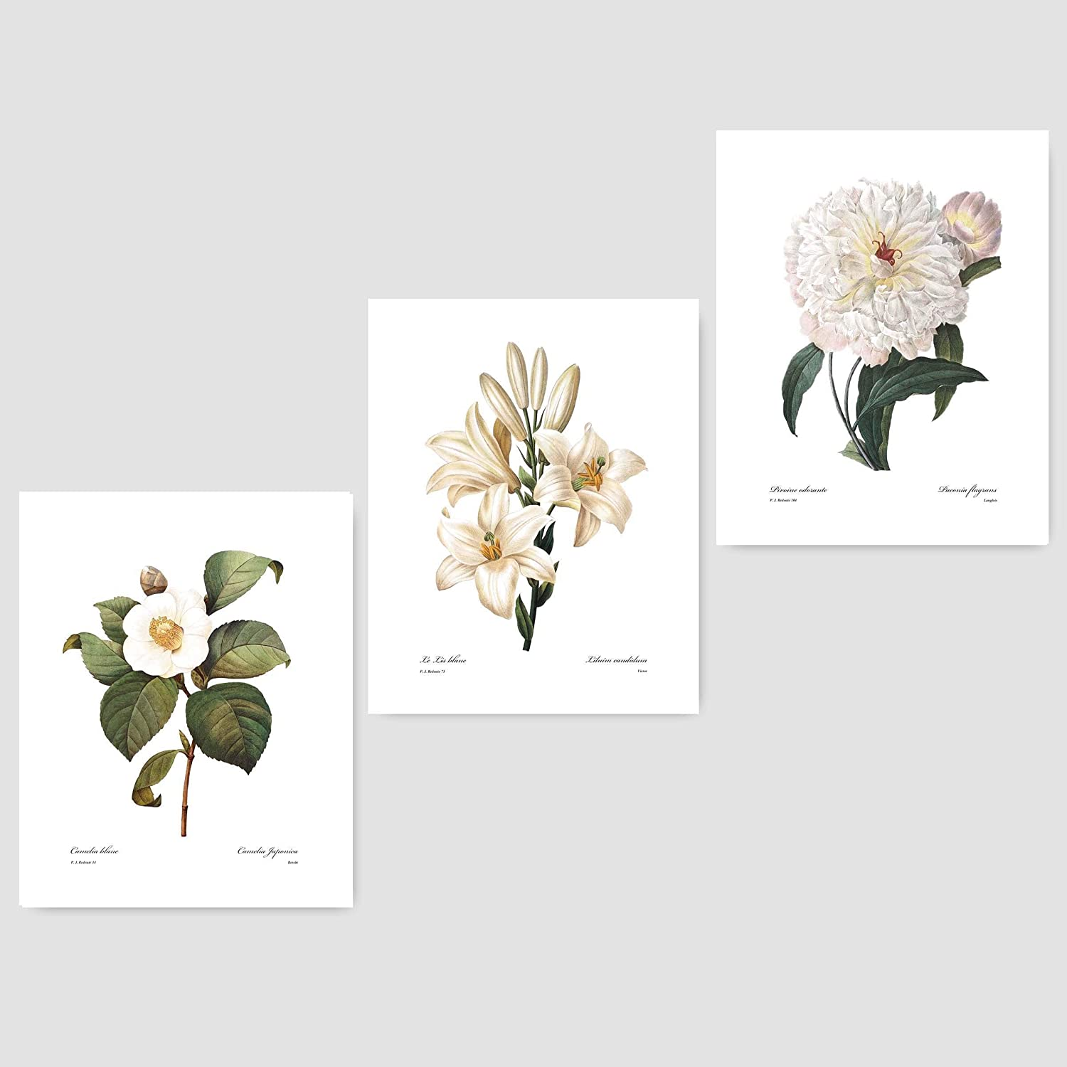 261d8536d Amazon.com: (Set of 3) White Flower Art (Redoute Botanical Prints Living  Room Bedroom Wall Decor) Camellia, Lily, Peony – Unframed: Handmade