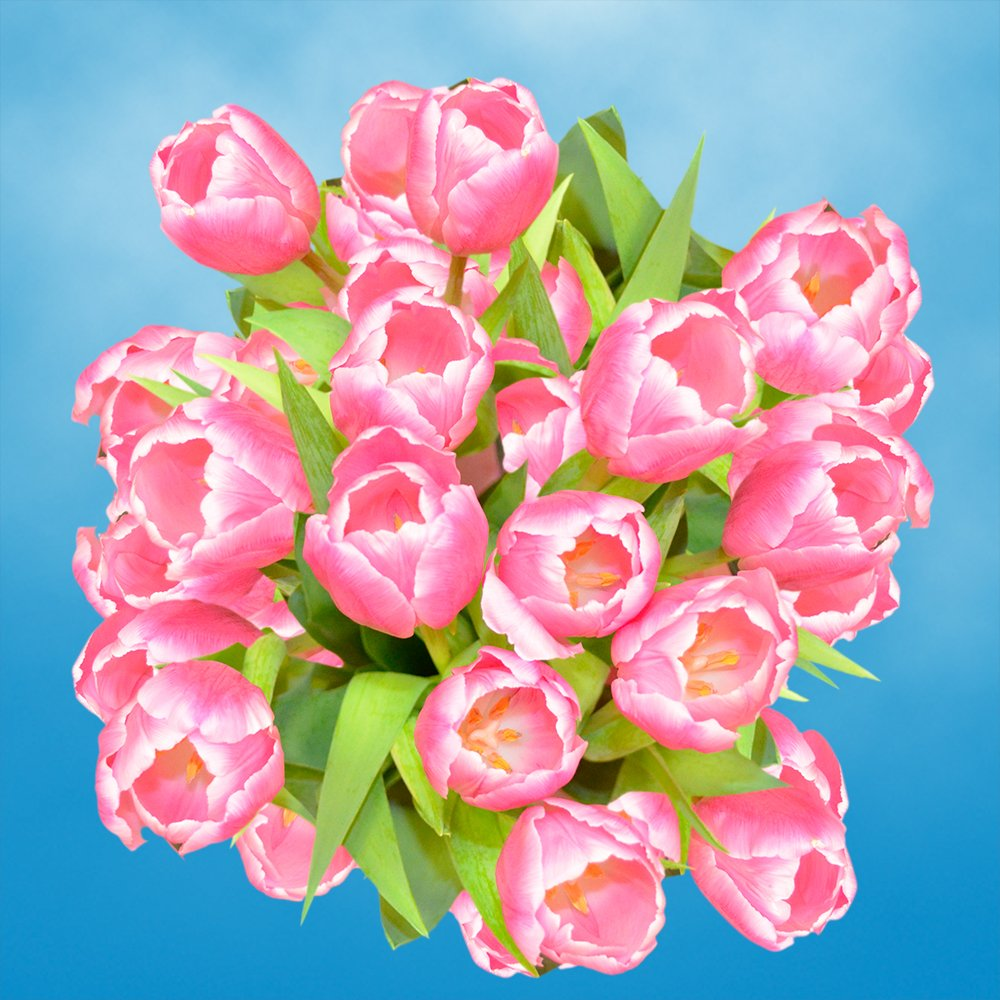 GlobalRose 30 Stems of Pink and White Bicolor Tulips Flowers - Fresh Flowers for Delivery