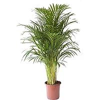 Planta de interior de Botanicly – Palma Areca – Altura: 120 cm – Areca dypsis lutescens