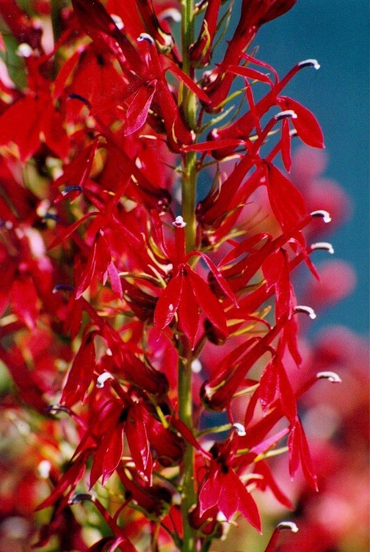 300 Seeds Cardinal Flower Lobelia cardinalis red Perennial Hummingbirds