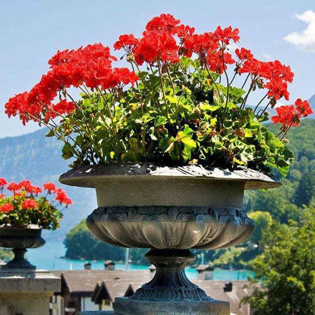 Sunlera 100 piezas/bolso Semillas Semillas de geranio de flores de plantas en maceta casera de las semillas de la planta de jardín