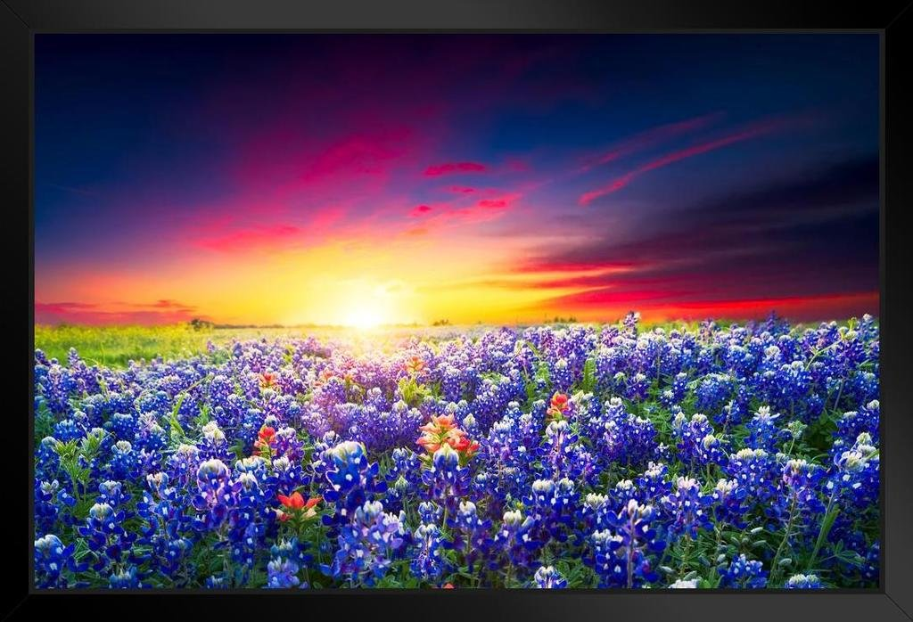 Spring Sunrise Bluebonnets Texas Hill Country Photo Art Print Framed Poster 20x14 inch