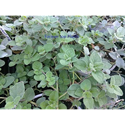 "Oregano - Greek - Green - HERB - Great for Cooking - 3"" Pot - 2 Plants : Garden & Outdoor"