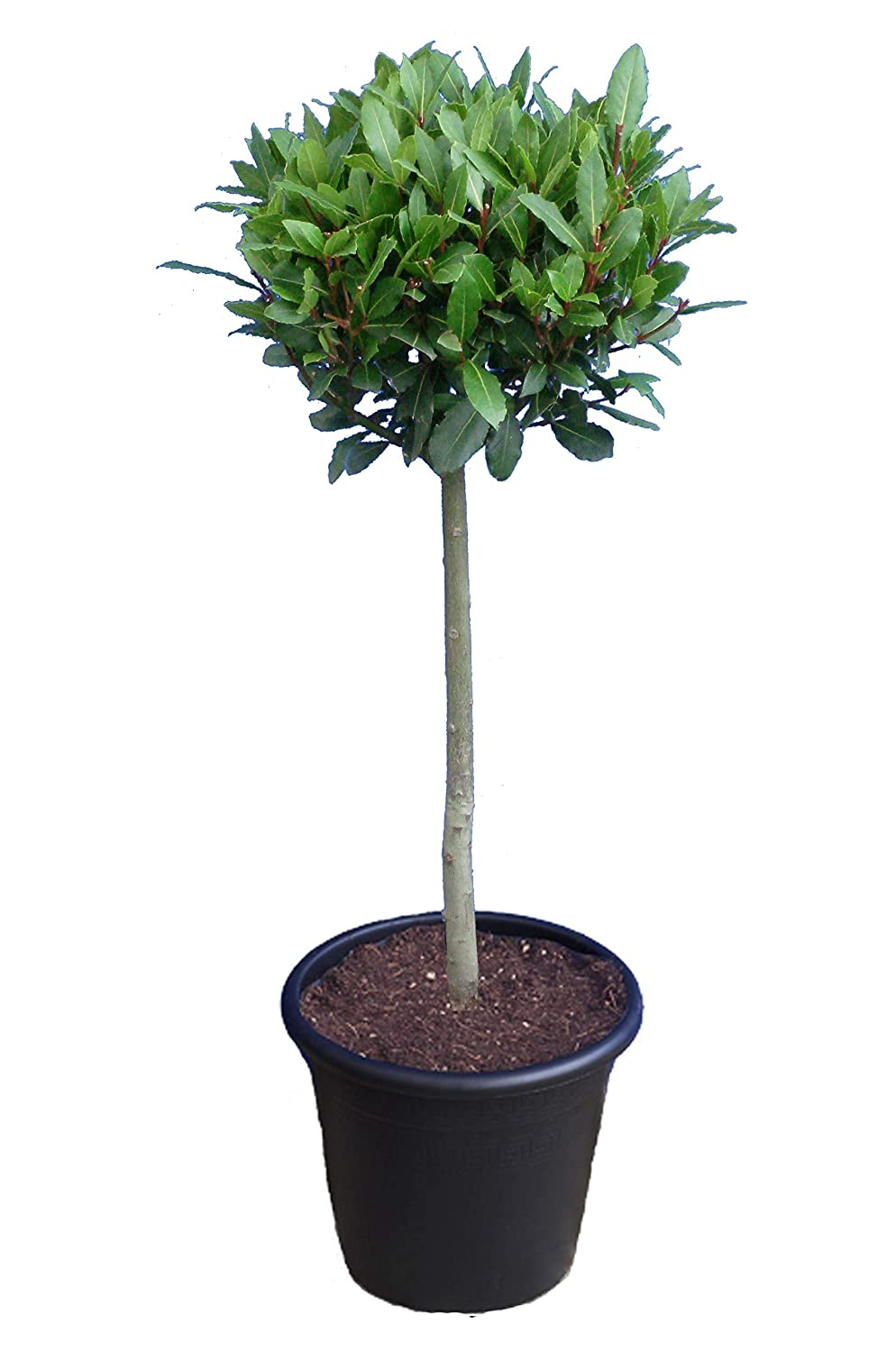 Image result for Laurus nobilis bonsai