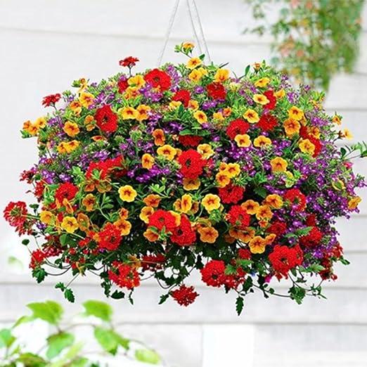 Ncient 200 Semillas de Morning Glory de Jardín Colgante Semillas de Flores Plantas Raras para Balcón Interior y Exteriores: Amazon.es: Jardín