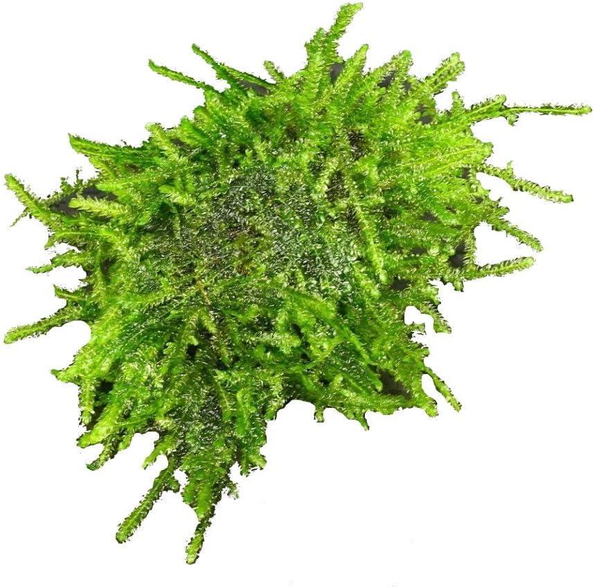 Java Moss Stone pad Live Aquarium Plants