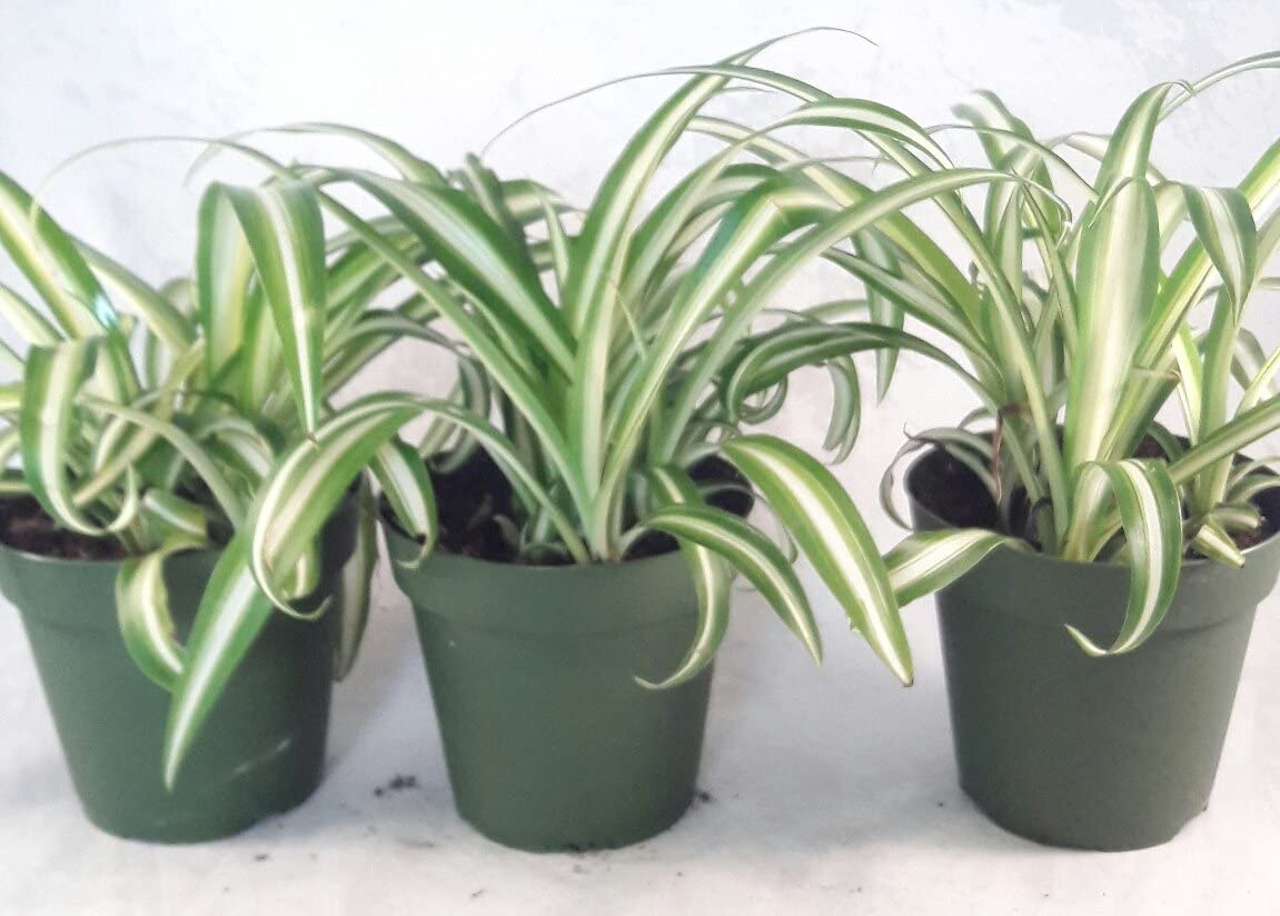 B075TQ4NHX Ocean Spider Plant - 4'' Pot 3 Pack for Better Growth - Cleans the Air/Easy to Grow by Jmbamboo 712rDlpPy0L