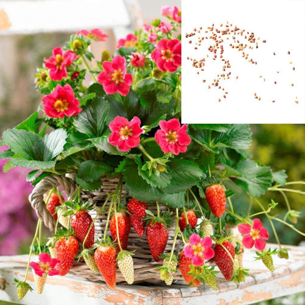 Taloyer Big Strawberry Seeds Giant and Deliciouns Rare Bonsai Fruit Seeds for Home Garden Planting Taloyer home