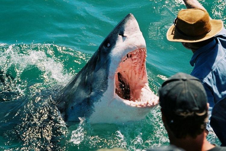 Great White Sharks On Their Best Behavior Ebook Craig Ferreira