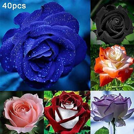 XdiseD9Xsmao 40pcs Semi di Fiori di Rosa Semi di Piante Giardino di Casa Balcone Cortile Perenne Profumata Bonsai Decorazione Pianta in Vaso Rosa Semi di Rosa