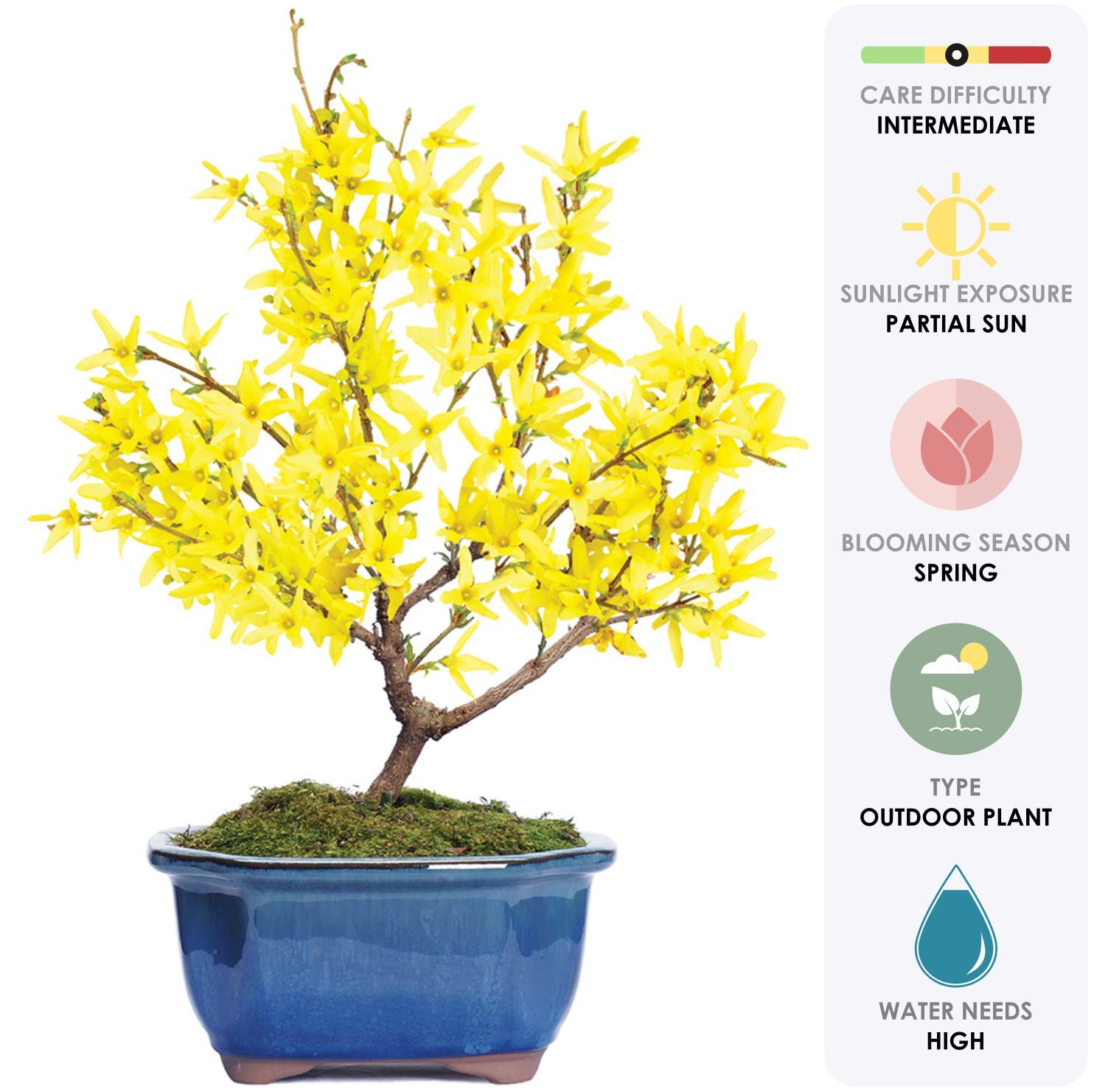 Brussel's Live Forsythia Outdoor Bonsai Tree - 3 Years Old; 6'' to 10'' Tall with Decorative Container