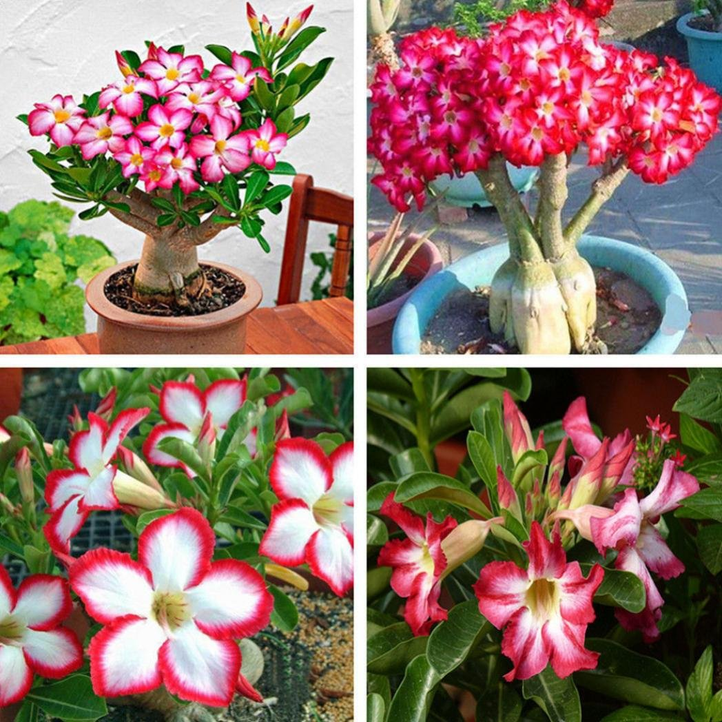 ZHOUBA 5Pcs Adenium Obesum Desert Rose Flower Plant Seeds Balcony Bonsai Garden Decor