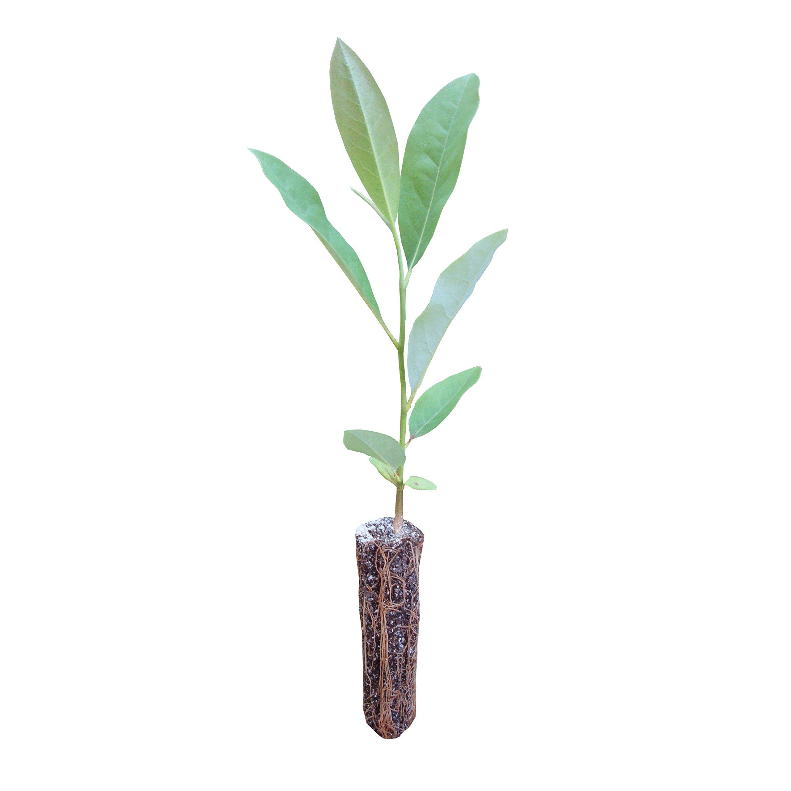 Sweetbay Magnolia | Live Tree Seedling (Medium) | The Jonsteen Company