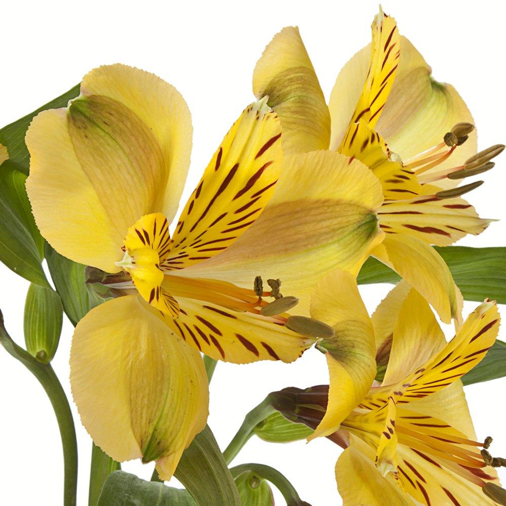 eFlowy - 80 Yellow Alstroemerias - Peruvian Lilies Wholesale