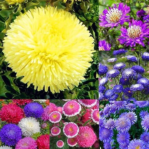 Ncient 100 Unids Semillas Margarita Colores Flore Semillas Crisantemo Raras Plantas Bonsai para Maceta Jardín Balcon Interior y Exteriores: Amazon.es: Jardín