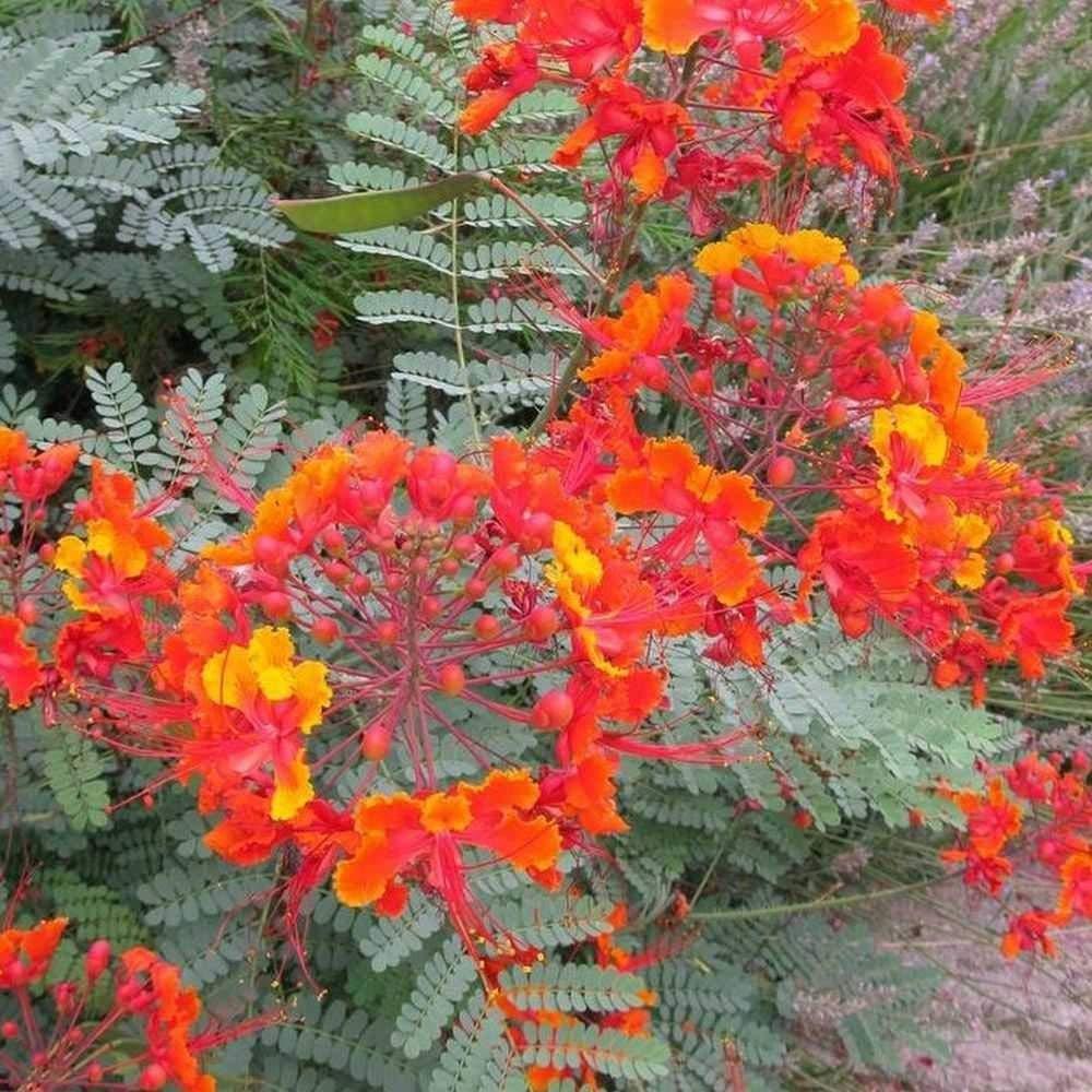 CAESALPINIA PULCHERRIMA Pride of Barbados 50 Seeds