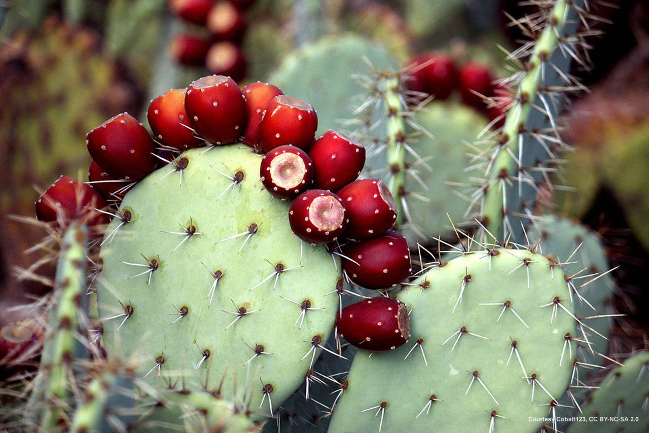 2 Miniature Prickly Pear Cactus - Easy Grow - Succulent Terrarium, Rock, Fairy Garden