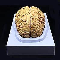 Human Brain Model, Anatomically Accurate Brain Model Life Size Human Brain Anatomy for Science Classroom Study Display Teaching Medical Model