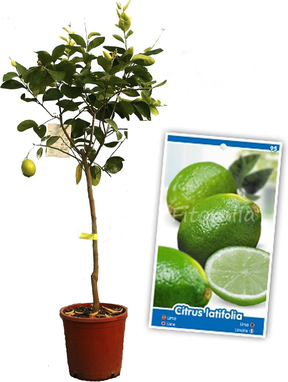 Lima - Árbol frutal de 2 años: Amazon.es: Jardín