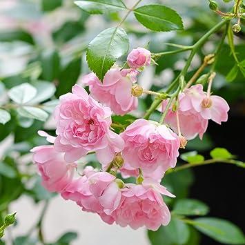 Rose The Fairy Bodendeckerrose Zartrosa Bluten Kleinstrauchrose
