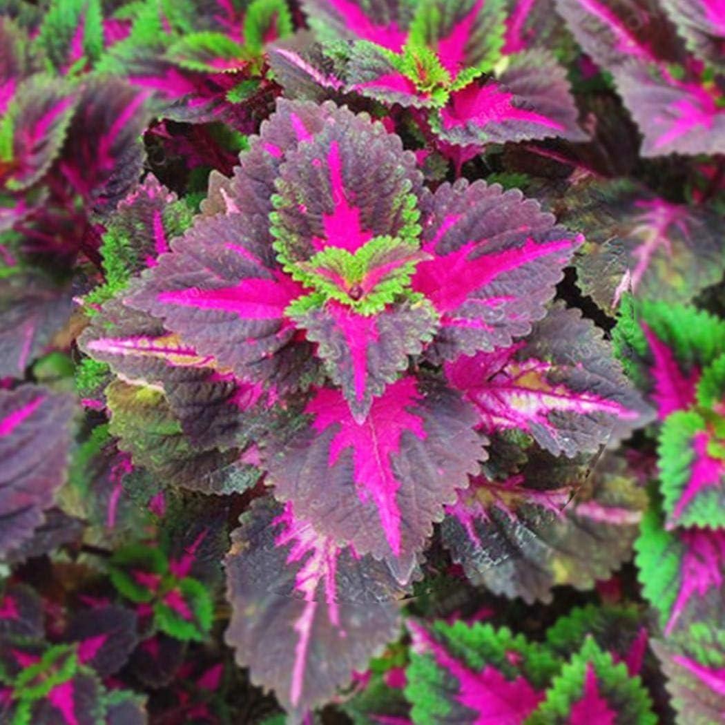 Dinger Garten-100 teile//beutel Coleus Samen Bonsai Blume Blatt Pflanzen Regenbogen Drachensamen Garten Blumensamen