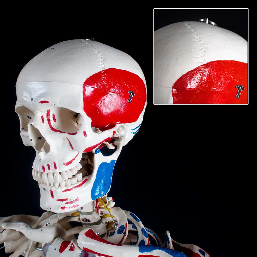 TecTake Modelo médico anatómica esqueleto humano esquelético ...