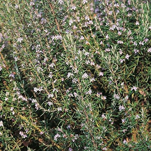 Herb Seeds - Rosemary - 400 Seeds Nuts n' Cones