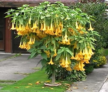 Amazon angel trumpet yellow brugmansia seeds huge fragrant angel trumpet yellow brugmansia seeds huge fragrant trumpet flowers10 seeds mightylinksfo