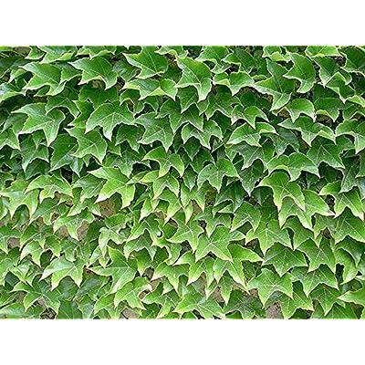 50 Pcs Ivy Seeds Parthenocissus Seeds, Creeper Grass Garden Home Plant Wall Decor Seeds : Garden & Outdoor