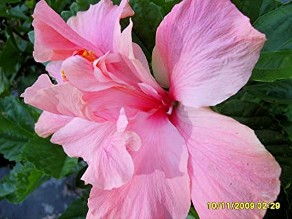 Amazon cele tinney tropical hibiscus live plant heirloom cele tinney tropical hibiscus live plant heirloom double crested pink flowers starter size 4 inch pot mightylinksfo