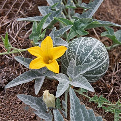 Amazon.com: Mejor Jardín semillas raras calabazilla Native ...