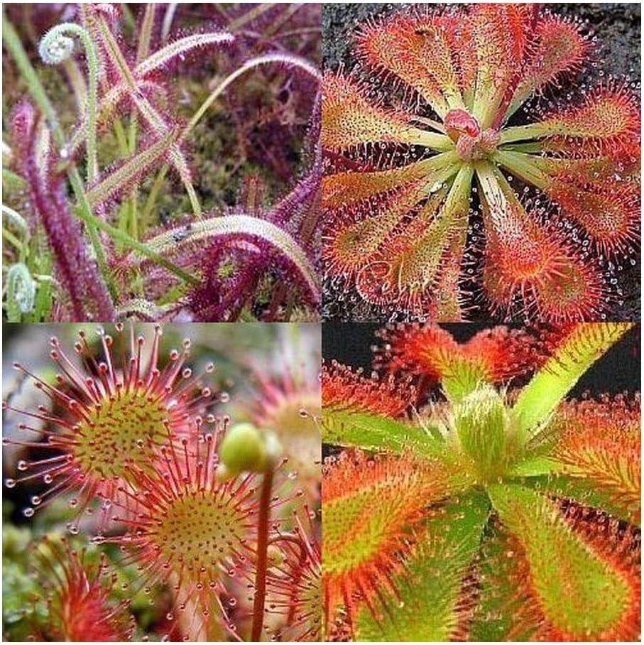 Drosera Mix - Plantas carnivoras - 10 Semillas: Amazon.es: Hogar