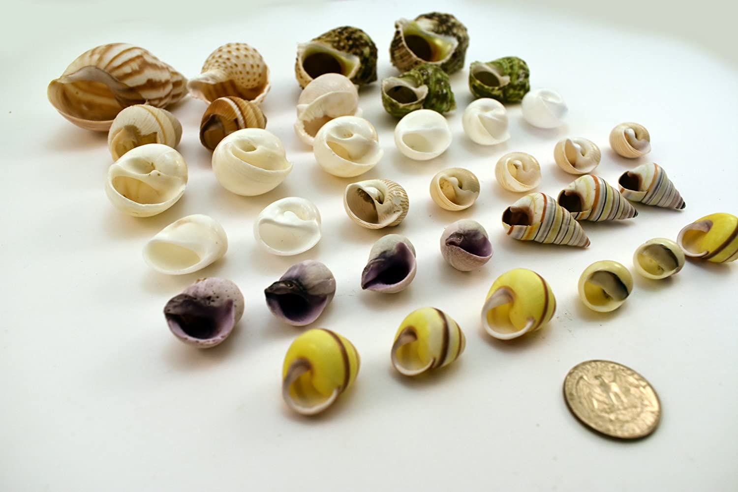 Select 35 Hermit Crab Shells Assorted Changing Seashells SMALL 1/2-2 Size (opening size 1/4 - 1) Beautiful Florida Shells and Gifts