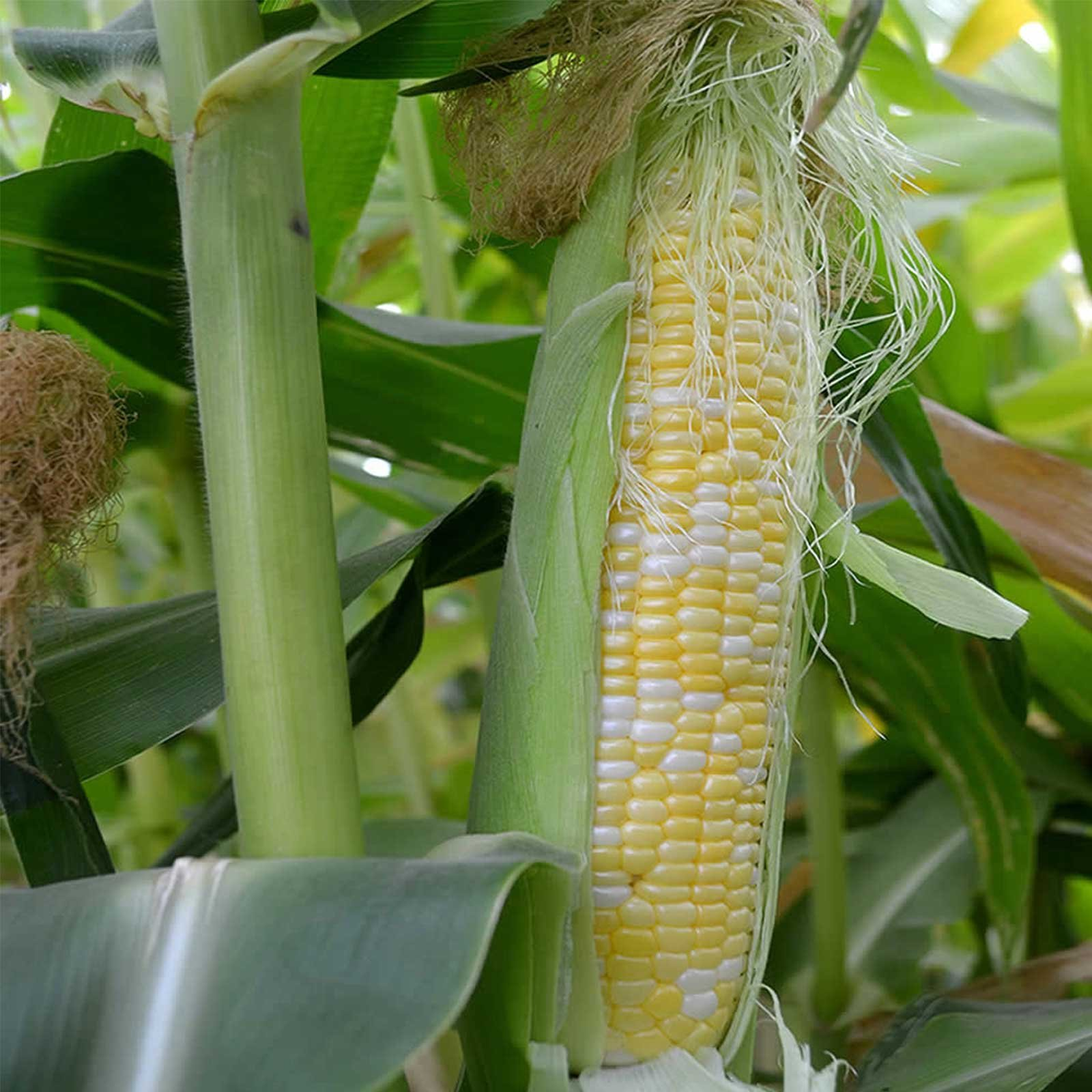 Peaches & Cream Hybrid Corn Garden Seeds - 50 Lb Bulk - Non-GMO Vegetable Gardening Seeds - Yellow & White Sweet (SE) Corn Kernels by Mountain Valley Seed Company (Image #1)
