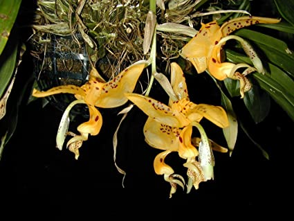 Amazon.com: Stanhopea jenischiana - Orquídea - Fragante ...
