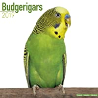 Budgerigars Calendar 2019