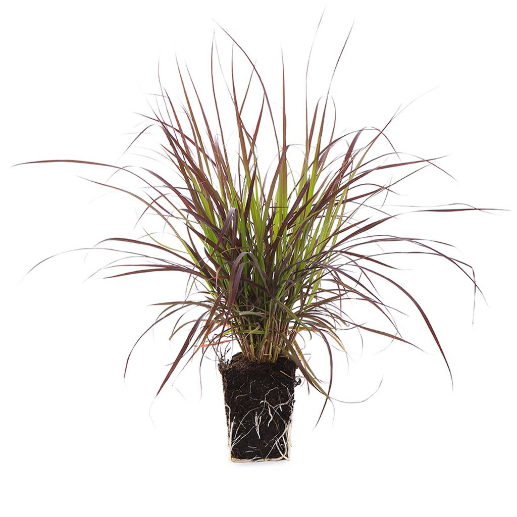 Plants by Post 1-Gallon Grass Pennisetum Rubrum Fountain Live Plant Purple-Set of 2, Purple/Red