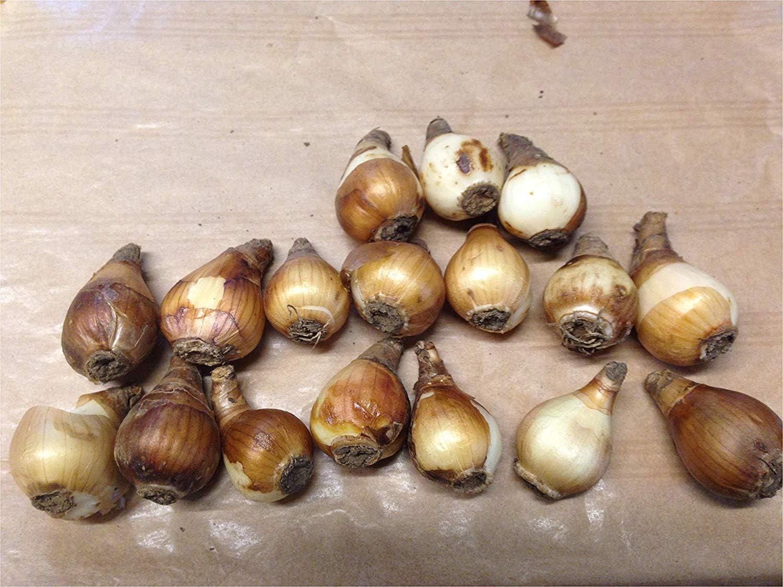 SANHOC Graines Paquet: Garthwaite NURSERIES: Perce-neige Galanthus NLIS SEED Fragrant HardySEED 200 simples