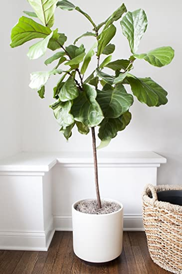 Genial Nooelec Seeds India Fiddle Leaf Fig Tree For Indoor Seeds: Amazon.in:  Garden U0026 Outdoors