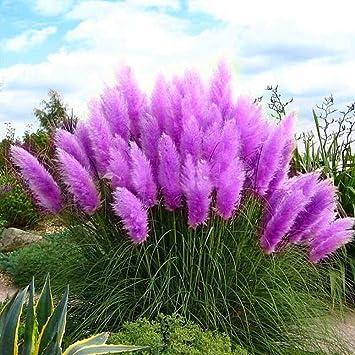 Adarl 100pcs/Package Pampas Grass Seeds Home Garden Ornamental Plants  Flowers Seeds Pueple