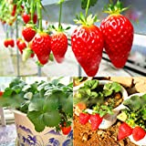 300pcs/bag Climbing Strawberry Seeds red Strawberry Organic Heirloom Fruit Vegetable Seeds Bonsai Potted Plant for Home Garde