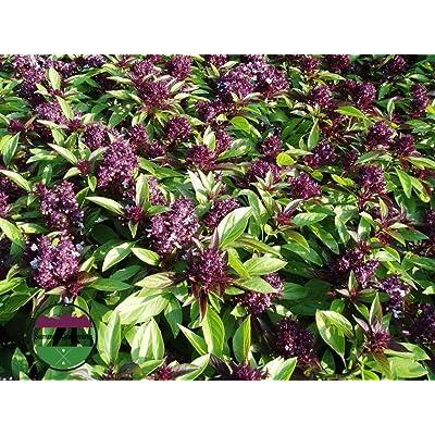 Heirloom Organic Siam Queen Basil 2400 Seeds by AchmadAnam : Garden & Outdoor