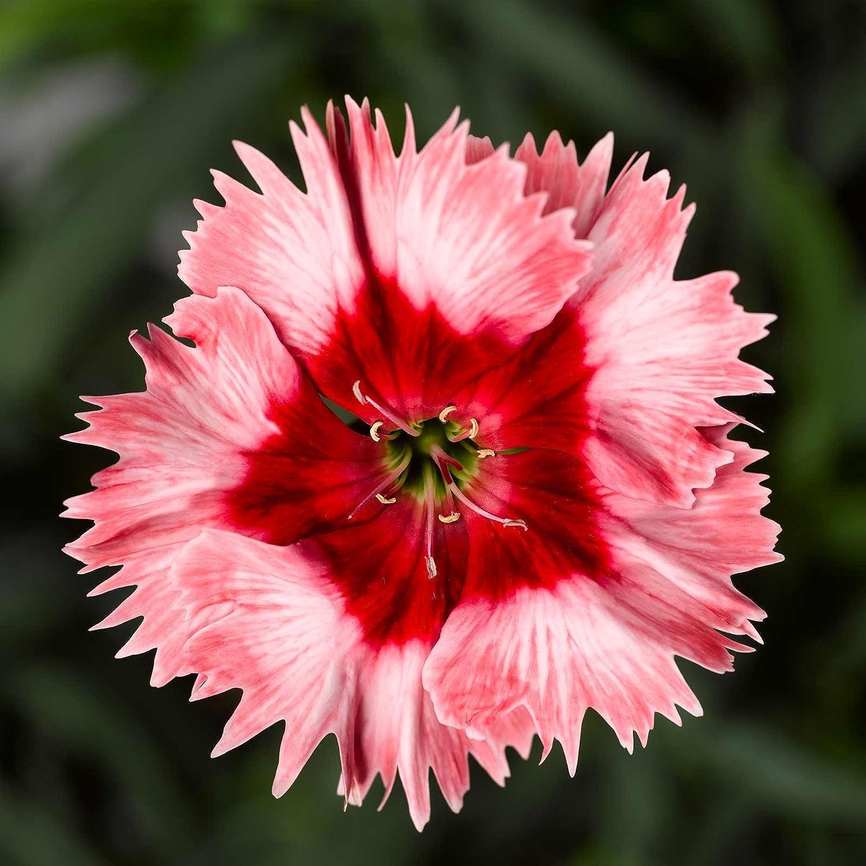 Amazon Dianthus Super Parfait Series Flower Seeds Strawberry